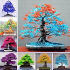 Внешний вид - 30pcs Rare Blue Maple Tree Seeds Home Garden Bonsai Yellow Mini Maple Seeds