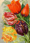Tulips Flowers Seed Packet Multi Szs FrEE ShiPPinG WoRld WiDE (22C