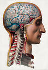ML02 Vintage 1800's Medical Surgical Human Brain Head Poster Re-Print A4