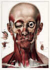ML03 Vintage 1830 Medical Surgical Human Head Neck Muscles Poster Re-print A4