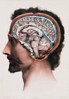 ML09 Vintage 1800's Medical Human Brain Surgical Anatomy Poster Re-Print A4
