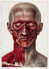 ML18 Vintage 1800's Medical Head & Neck Muscles Surgical Poster Re-Print A4