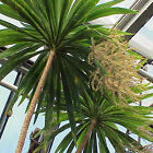 PALM LILY cordyline stricta dragena agavaceae 10, 50, 100 seeds choice listing