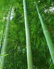 Moso Bamboo Seeds Phyllostachys Pubescens Giant Bamboo 100-500 Seeds Usa Seller