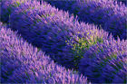 Poster / Leinwandbild Lavender growing in the Provence - Frank Lukasseck