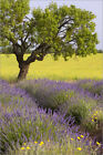 Poster / Leinwandbild Lone tree in middle of lavender and must... - B. Jannsen