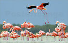 Poster / Leinwandbild A Caribbean flamingo lands in the breeding... - K. Nigge