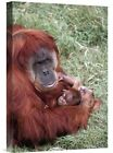 'Sumatran Orangutan Mother Holding Baby, Native to Sumatra' Photographic Print