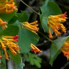 Orange bush Honeysuckle, lonicera ciliosa hummingbird 50, 500 or 5000 seeds