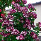 Purple splash climbing rose 20, 200 or 2000 seeds