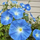 MORNING GLORY HEAVENLY BLUE Ipomoea tricolor natural untreated BULK seeds