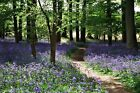 Unframed Photo Canvas Print Poster Picture Bluebell Path Floral Landscape Woods