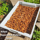 Live Superworms - FREE Shipping! Bulk, Grown Organic in Florida (50-500) Large