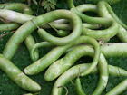 Gourd Seed: Snake Gourd Seeds Fresh Seed  FREE Shipping
