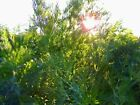 Dill Seed: Long Island Mammoth Dill Seeds Fresh Seed  FREE Shipping