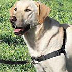 Show Dog No Pull Easy Walk Dog Gentle Leader Harness Professional Trainer USA