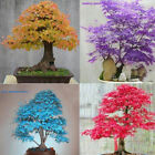 Внешний вид - 20pcs Blue Japanese Maple Tree Bonsai Seeds Acer Palmatum Atropurpureum Plant