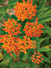 50+ Butterfly Common Swamp Showy Blood Milkweed Seed - Pollinator Butterfly