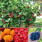 New Nice Adorable Flower Fragrant Seeds Fragrant Blooms Red Raspberry DZ88 01